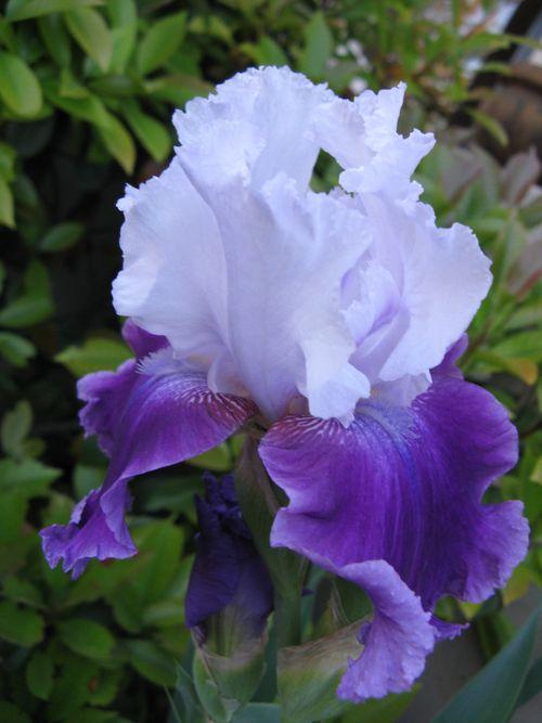 Purple Iris closeup 1