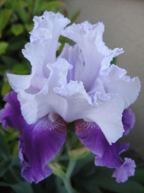 Purple Iris closeup 3